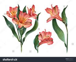 watercolor illustrations lily flowers stock illustration 444926611