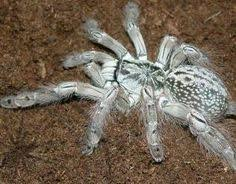 the west togo starburst baboon spider heteroscodra