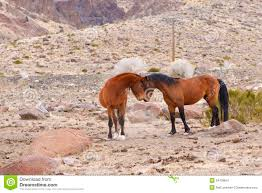 mustangs mating le mustang hotelroomsearch