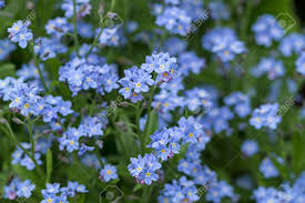 forget me not herbaceous plant with small blue flowers nature