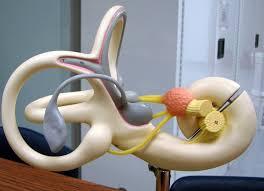 Anatomy And Physiology Ear Riley Winton