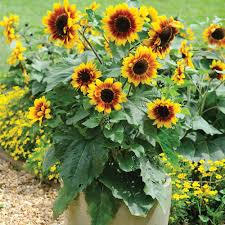 sunflower seeds thompson u0026 morgan