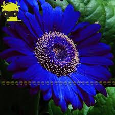 aliexpress com buy 100pcs pack blue gerbera daisy blue