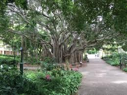 City Botanic Gardens Big Banyan Tree Picture Of City Botanic Gardens Brisbane