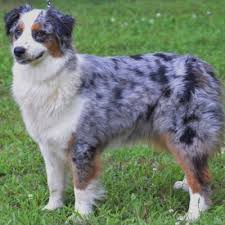 south carolina australian shepherd rescue akc australian shepherd breeders in north carolina ramblin ridge