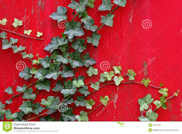english ivy climbs vibrant red wall stock photos image 5752783
