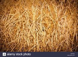 ornamental grass autumn grass stock photo royalty free image