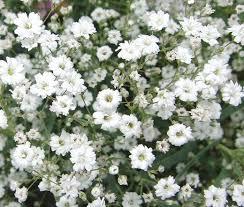 Bulk Baby S Breath Baby U0027s Breath White Seeds Gypsophila Elegans