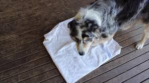 australian shepherd husky australian shepherd intelligence test youtube