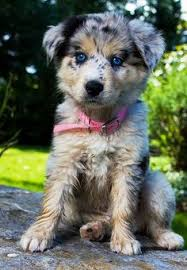 australian shepherd in spanish australian shepherd sooo cute puppy love pinterest