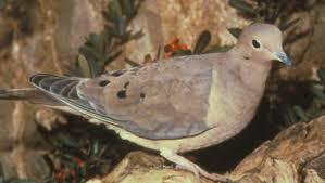 Dove Migration Map Mourning Dove The Texas Breeding Bird Atlas