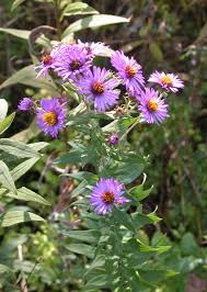 native plants of tennessee fall flowers roadsides blue purple and green
