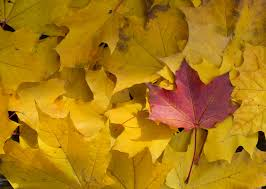 red leaf between yellow leaves in fall free stock images by