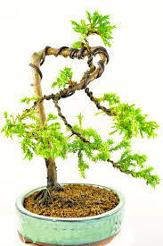 styled chinese juniper bonsai tree