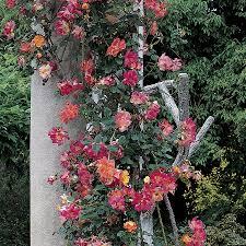 joseph u0027s coat climbing rose