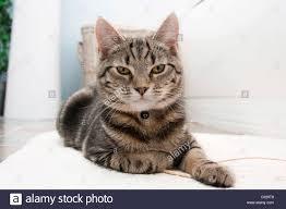 lazy tabby cat lying down on a bathroom floor stock photo royalty
