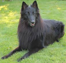 belgian sheepdog guard dog belgian shepherd dog groenendael tervuren malinois laekenois