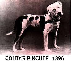 american stanford terrier y american pitbull terrier american pit bull terrier wikiwand