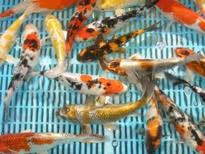 ripples koi carp koi carp goldfish grass carp tench and carp