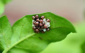 was ist das für ein insekt eine wanze oder was urlaub insekten wanzen blattwanze wanze kostenloses foto auf pixabay