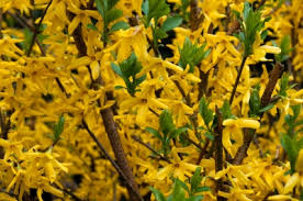 Flowering Privacy Shrubs - 13 shrubs to plant for more privacy what u0027s new at blue tree