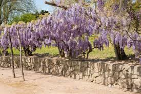 Climbing Plants That Flower All Year - vines that handle drought u2013 learn about drought tolerant climbing