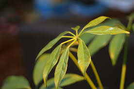 bromeliads guzmania lingulata tropical house plants flowering