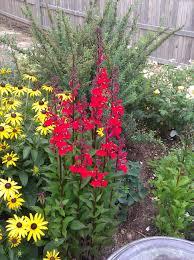 cardinal flower cardinal flower fan scarlet perennial lobelia thetreefarm