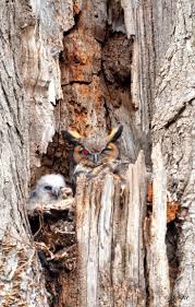 Owl Lovers by 466 Best Great Horned Owl Images On Pinterest Great Horned Owl