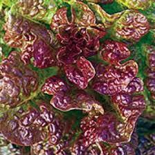 153 best ornamental edibles images on vegetables