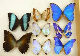 what gives the morpho butterfly its magnificent blue look