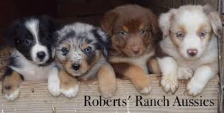 south texas australian shepherd rescue texas australian shepherds u0026australian cattle dogs