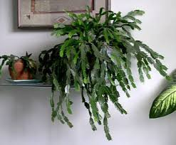 thanksgiving cactus cactus cactus www uaex