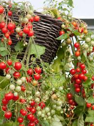 Container Gardening For Food - tomato varieties for your container garden growing tomatoes in