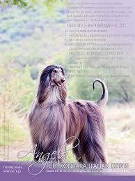 us afghan hound afghan hound association of southern africa an afghan hound