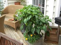 turn a plastic tote into self watering container garden the