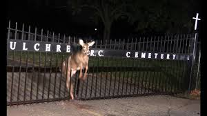 animal rescue deer trapped in a iron fence holy sepulchre