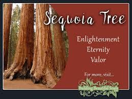 sequoia tree meaning u0026 symbolism tree symbolism u0026 meanings