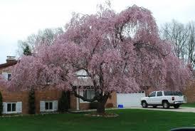 trees with pink flowers flowering trees dirt simple