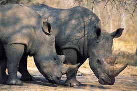 african safari animals an introduction to africa u0027s big five safari animals rhinos