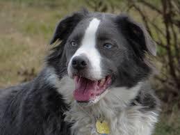 australian shepherd like water free images puppy cute pet border collie eyes dogs