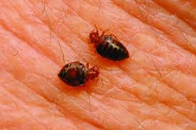 What Causes Bed Bugs To Come Out Bed Bugs Vs Fleas Difference And Comparison Diffen