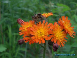 indian paintbrush flower indian paintbrush flowers i grew up knowing this flower as indian