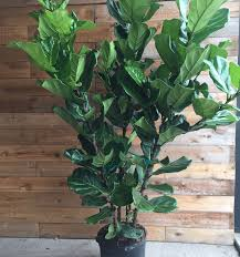Fiddle Leaf Fig Tree Care by Fiddle Leaf Fig Plants Canada Blooms
