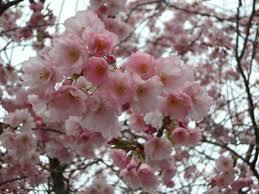 ornamental cherry cherry blossom japanese cherry trees free stock