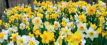 daffodil bulbs item 3076 spring loaded for sale