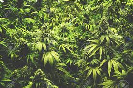 weed stock photos u0026 pictures royalty free weed images and stock
