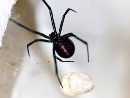 Black Widow Spiders Had A - black widow spider bite pictures symptoms treatment
