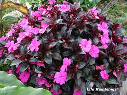 impatiens flowers ramblings today s flowers impatiens