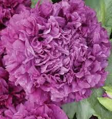 Peony Flowers Purple Peony Poppy World Seed Supply